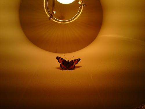 angelicas fjäril